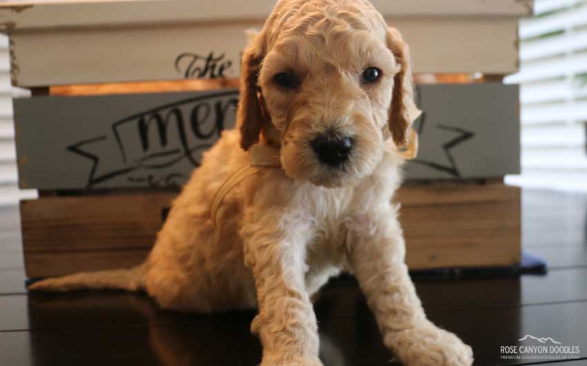 Mini Goldendoodle and Mini Bernedoodle Puppies in Utah by Rose