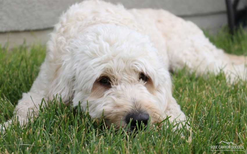 Mini Goldendoodle And Mini Bernedoodle Puppies In Utah By