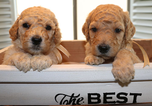Goldendoodle Puppy New Litters